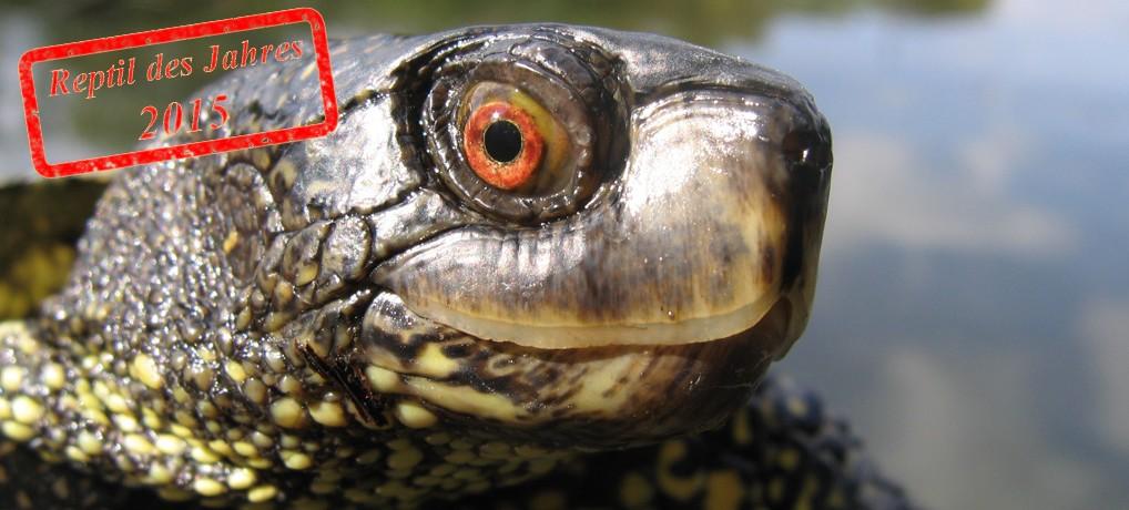 Die Europäische Sumpfschildkröte