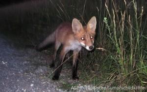 Raubfeind Fuchs