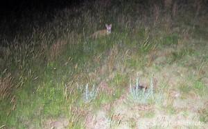 Fuchs schleicht um ein eierlegendes Weibchen