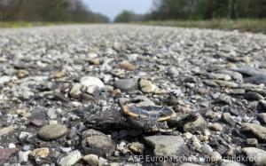 Verkehrsopfer: Schlüpfling