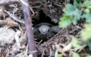 ein Schlüpfling verlässt das Nest